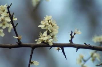 blackthorn-branch